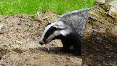 Wildlife Survey Badger | MICROBEE environmental - Ecology Team