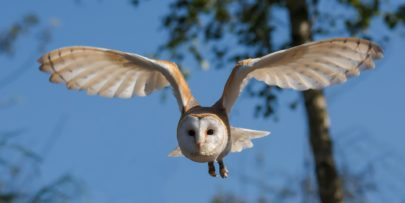 Wildlife Survey Barnowl | MICROBEE environmental - Ecology Team