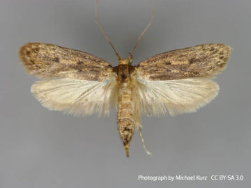 Moth Control - MICROBEE Environmental - Pest Control 03a