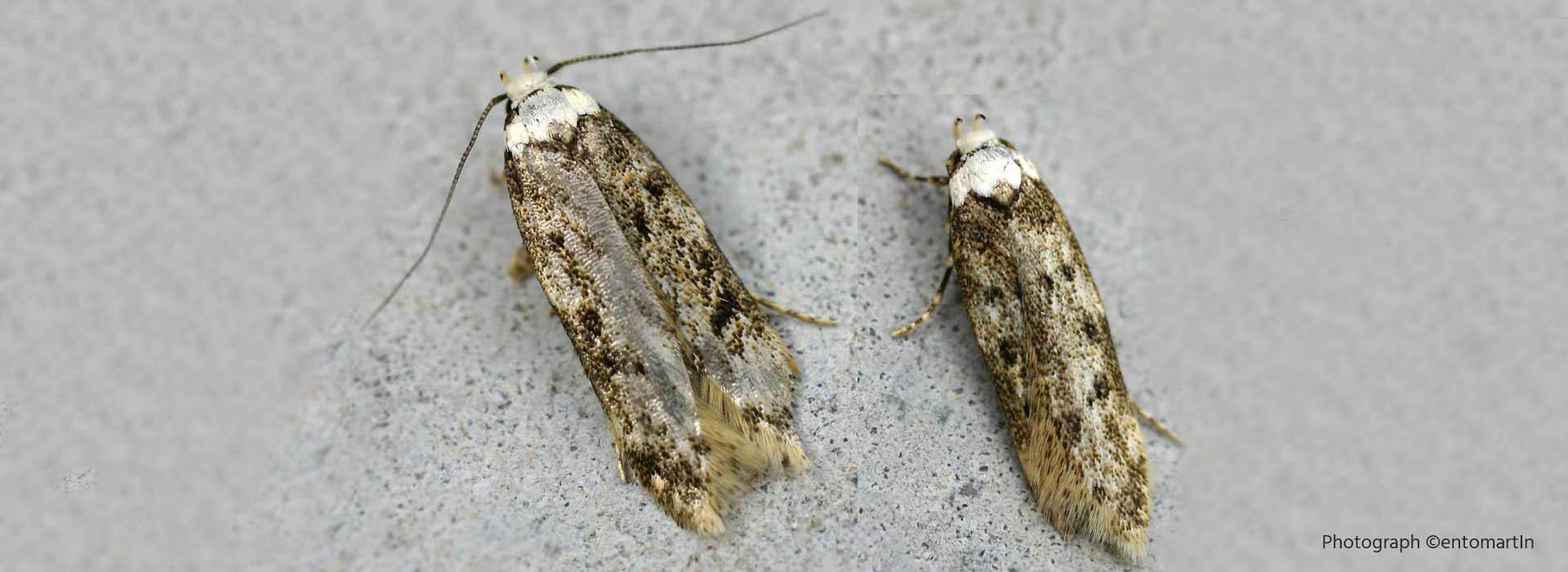 Moth Control - MICROBEE Environmental - Pest Control H01a