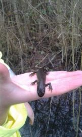 Wildlife Survey- Newt | MICROBEE environmental - Ecology Team