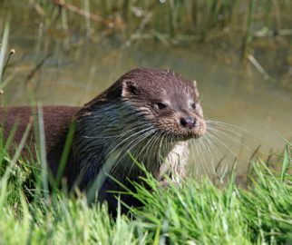 Wildlife Survey Otter | MICROBEE environmental - Ecology Team