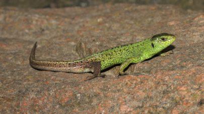 Reptile Survey - Microbee Ecology