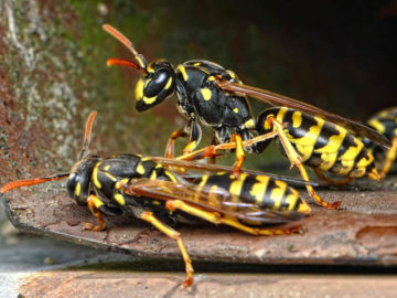 Wasp Control - MICROBEE Environmental - Pest Control 02