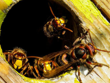 Wasp Control - MICROBEE Environmental - Pest Control 03 - Hornet