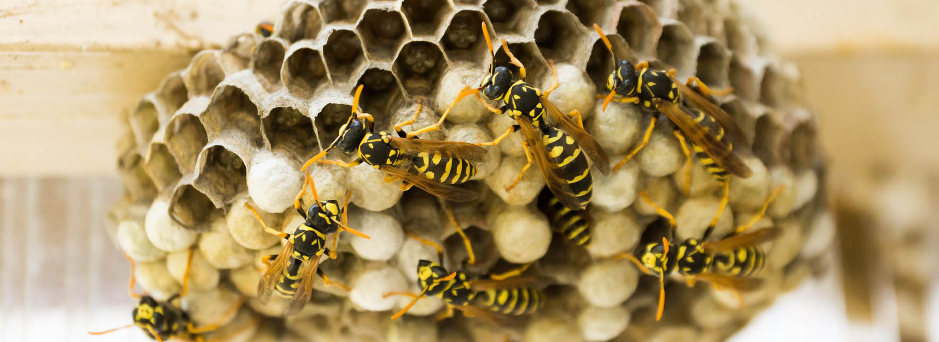 Wasp Control - MICROBEE Environmental - Pest Control H01