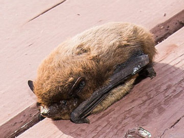 Wildlife Survey- Bat | MICROBEE environmental - Ecology Team