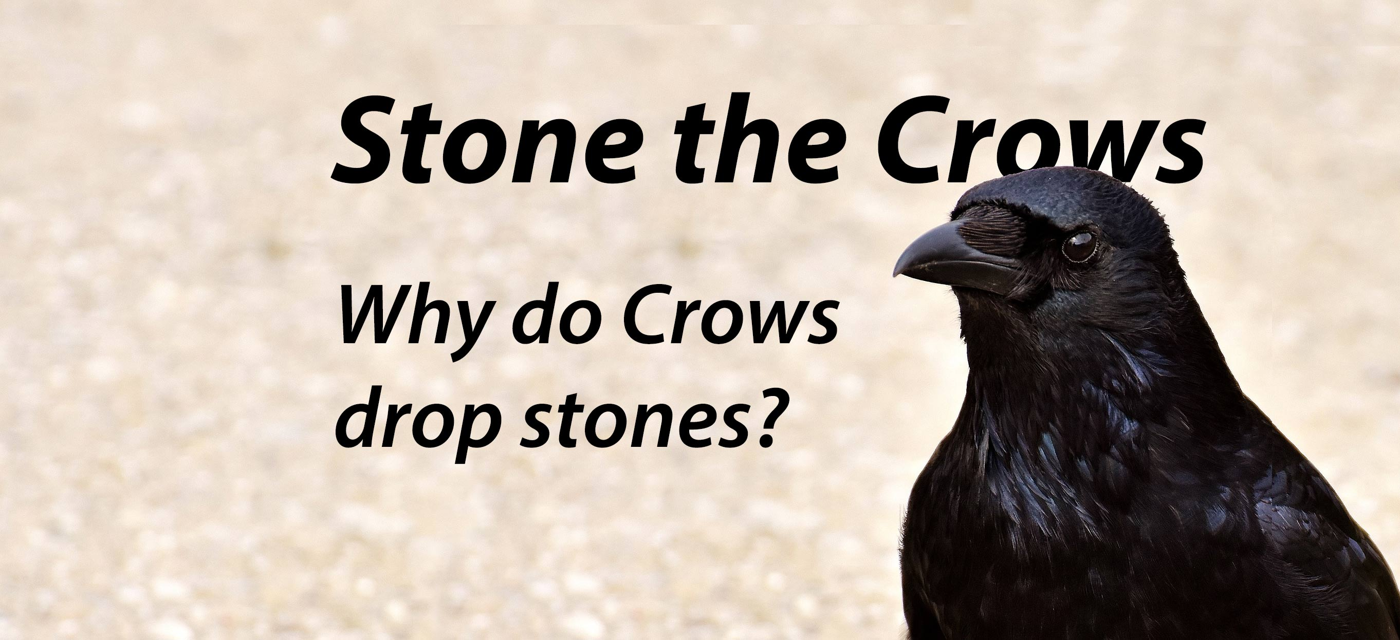 Nuisance crows drop stones image
