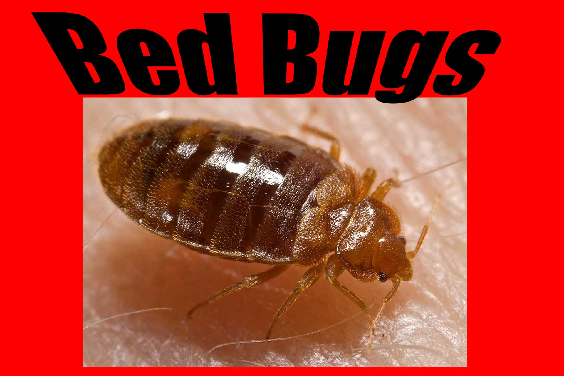 bed bugs pest prevention and eradication