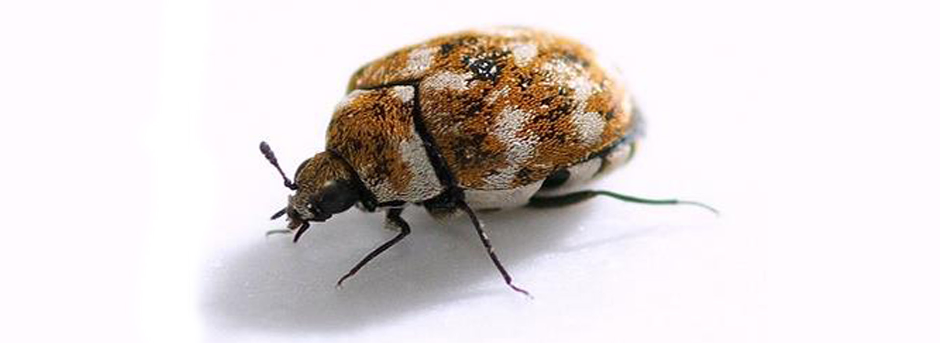 Close up photograph of a carpet beetle