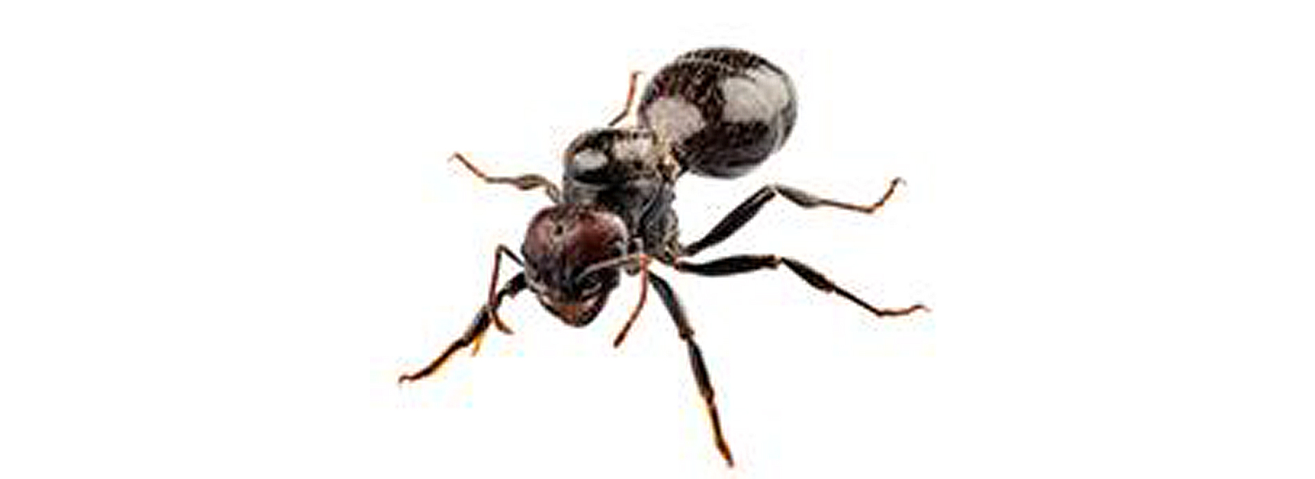 Photograph depicting a common black ant