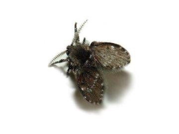Sewer / Drain Flies (Psychoda species)