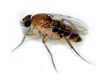 Scuttle Flies (Phoridae)
