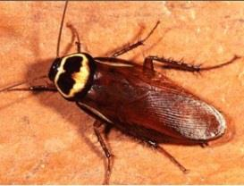 Photo of Australian Cockroach