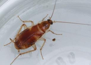 Photo of Brown-Banded Cockroach