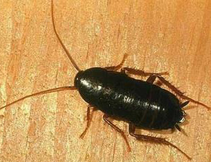 Photo of Oriental Cockroach