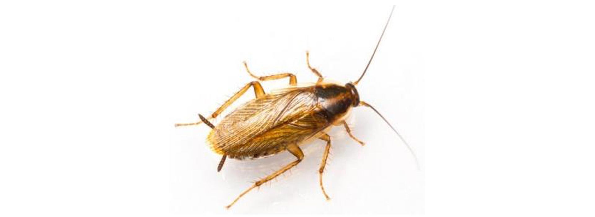 Photo of German Cockroach
